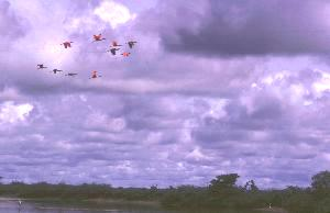 Roseate Spoonbills take flight